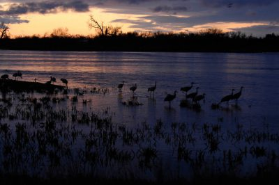 A flock of migrating Sandhill cranes (Grus canadensis) at the Rowe Audubon Sanctuary in Gibbon, Nebraska.