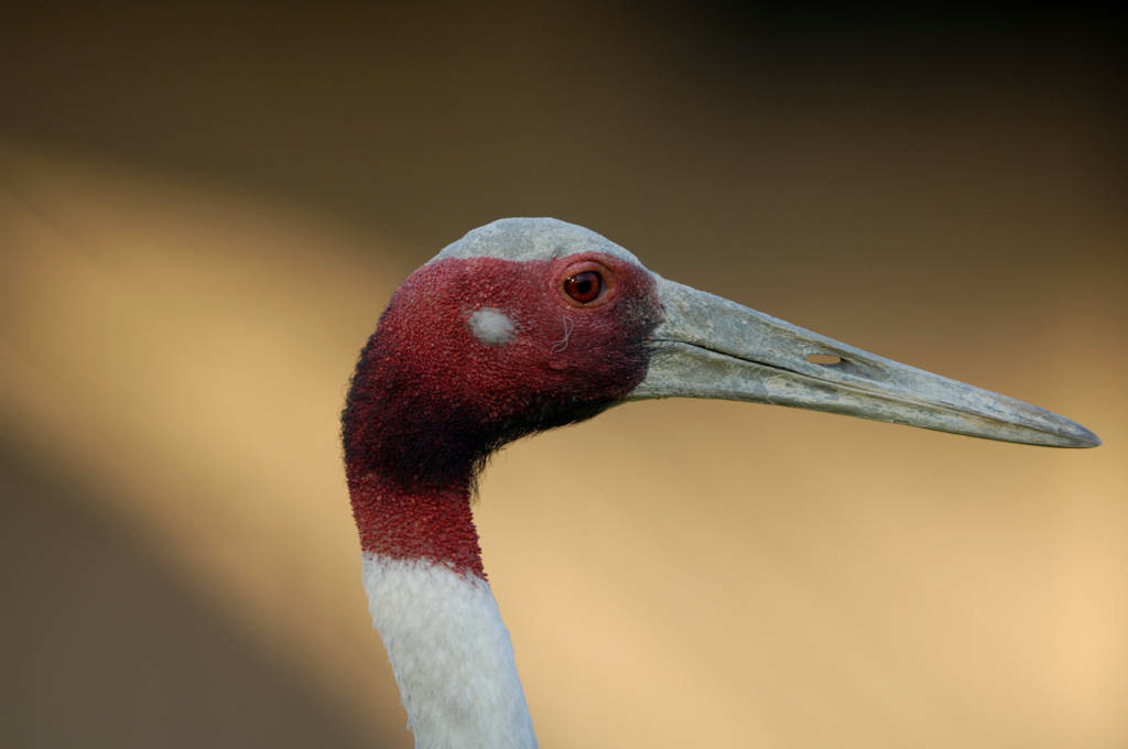 A vulnerable sarus crane (Grus antigone) at the International Crane Foundation. This is the tallest flying bird in the world, standing six feet tall.