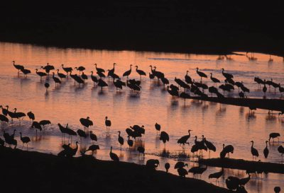 Photo: A flock of migrating Sandhill cranes at the Rowe Audubon Sanctuary in Gibbon, Nebraska.