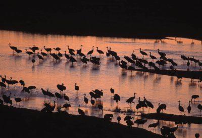 Photo: A flock of migrating Sandhill cranes at the Rowe Audubon Sanctuary in Gibbon, Nebraska.