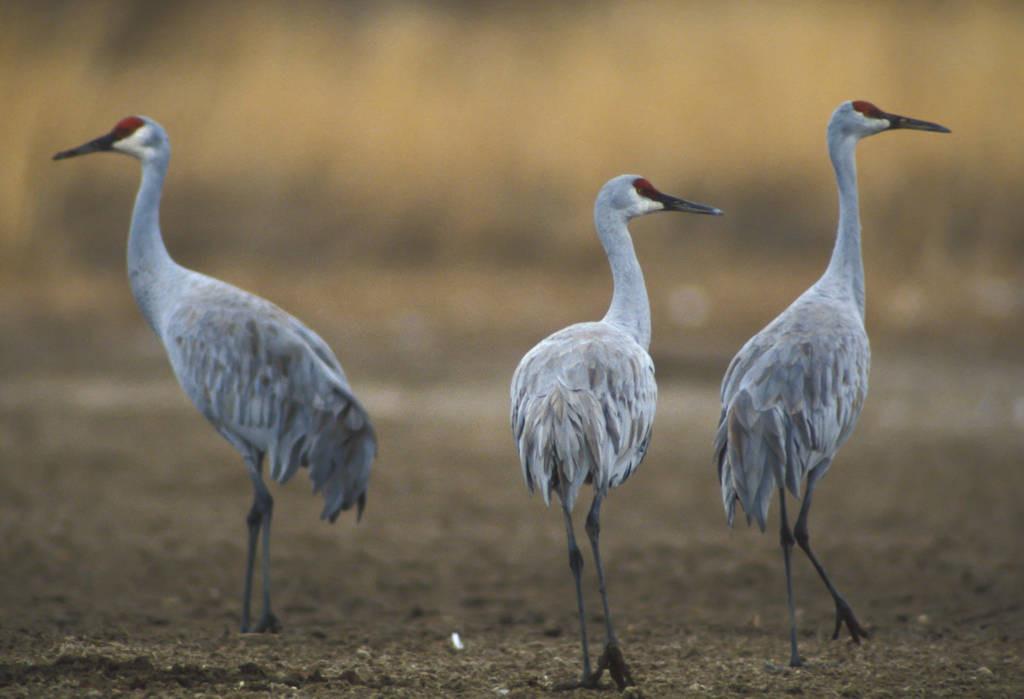 Photo: Cranes at Bosque Del Apache National Wildlife Refuge.