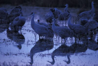 Photo: Greater Sandhill cranes at Bosque Del Apache National Wildlife Refuge.