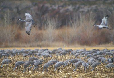 Photo: Greater Sandhill cranes at Bosque Del Apache National Wildlife Refuge.