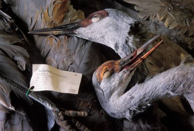 Photo: Dead Sandhill cranes at Rowe Audubon Sactuary near Kearney, Nebraska