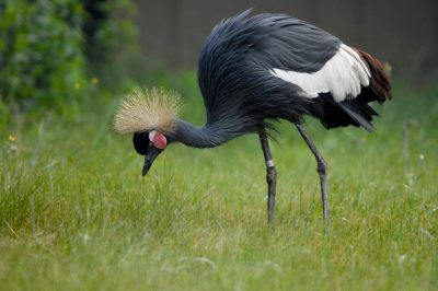 Photo: A black crowned crane (Balearica pavonina) on display at the International Crane Foundation.