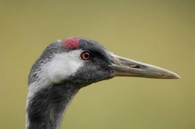 Photo: A Eurasian crane (Grus grus) on display at the International Crane Foundation.