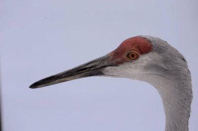 A Florida sandhill crane (Grus canadensis pratensis) at the Great Plains Zoo.
