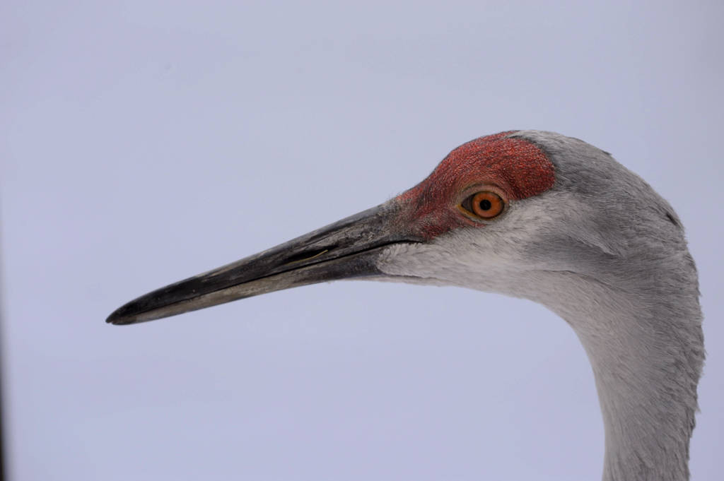 A Florida sandhill crane (Grus canadensis pratensis) at the Great Plains Zoo.