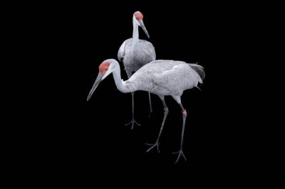 Two Florida sandhill cranes (Grus canadensis pratensis) at the Great Plains Zoo.