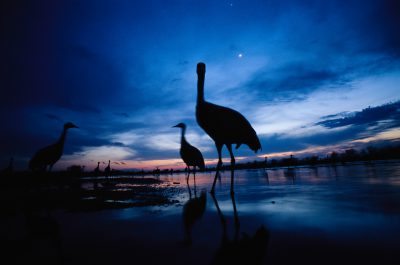 Sandhill cranes roost on the Platte River at twilight.