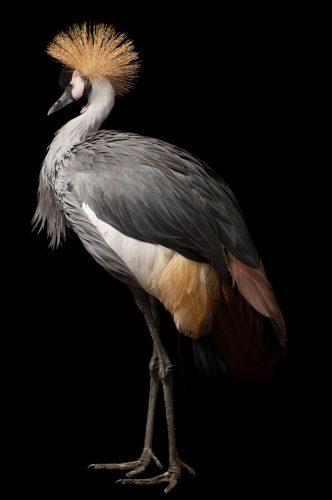 An endangered (IUCN) East African crowned crane (Balearica regulorum gibbericeps) at the Kansas City Zoo.