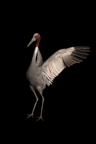 A vulnerable Indian Sarus crane (Grus antigone antigone) named Ramani, meaning 'beautiful girl' in Indian.