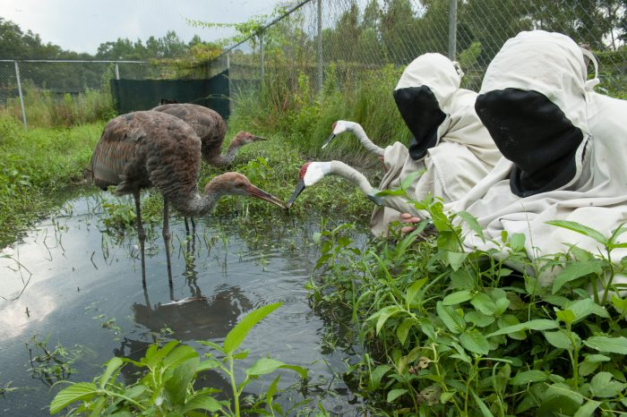 Photo: Zoo keepers wear crane costumes to bond with juvenile Mississippi sandhill cranes at the Audubon Species Survival Center, part of the Audubon Zoo in New Orleans, Louisiana.