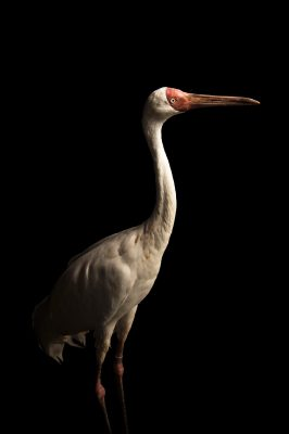 Picture of a critically endangered (IUCN) and federally endangered Siberian crane (Grus leucogeranus) at the Tulsa Zoo.
