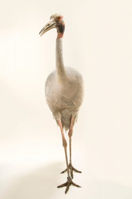 Photo: An Australian saurus crane (Grus antigone gillae) from a private collection in Choussy, France.
