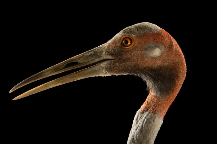 Photo: An Australian saurus crane (Grus antigone gillae) from a private collection in Choussy, France.