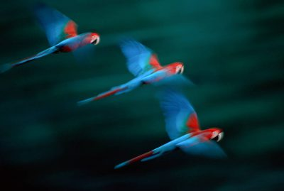 Photo: A mated pair of red-and-green macaws teach their young to fly in Madidi NP, Bolivia.