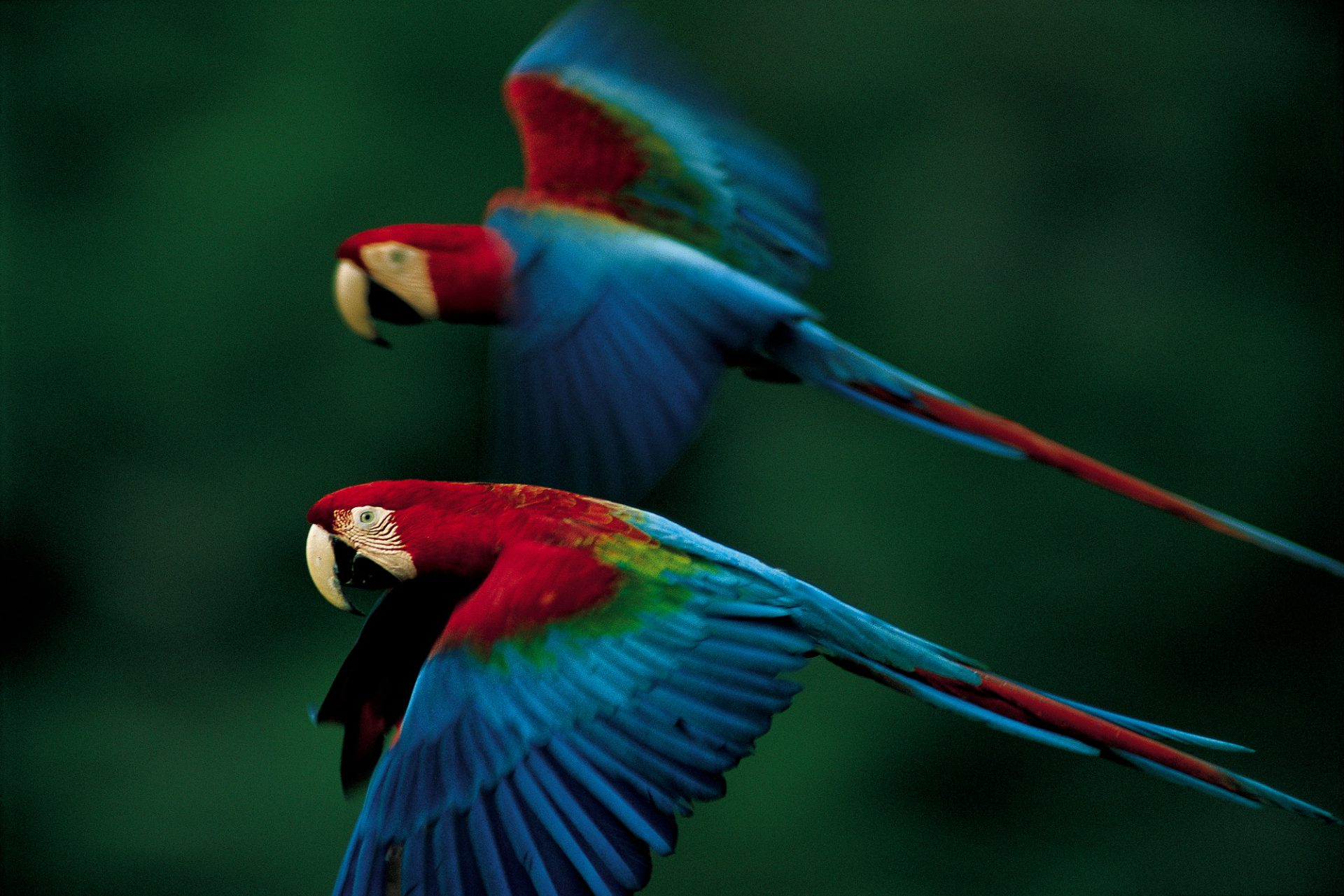 Photo: Red-and-green macaws in flight over Madidi National Park, Bolivia.
