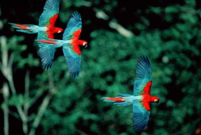 Photo: A mated pair of red-and-green macaws teach their young how to fly in Bolivia's Madidi National Park.
