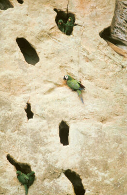 Photo: Macaws in a cliff-side nest in Madidi National Park, Bolivia.