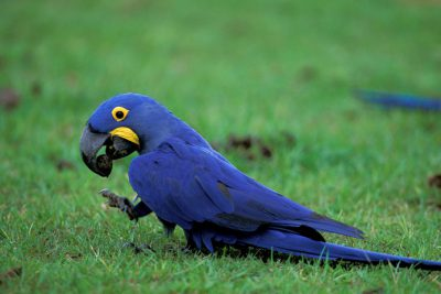Vulnerable Hyacinth macaws (Anodorhynchus hyacinthinus) search for palm nuts in Brazil's Pantanal.
