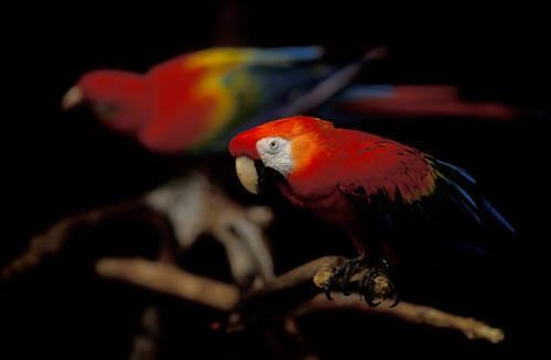 Scarlet macaws (Ara macao) at the Henry Doorly Zoo in Omaha, Nebraska.
