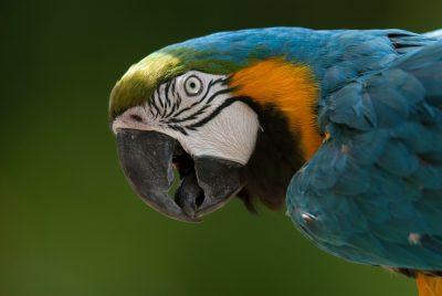 Blue and yellow macaw (Ara ararauna) at the Omaha Zoo.
