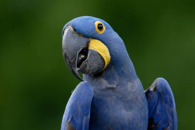 A vulnerable (IUCN) hyacinth macaw (Anodorhynchus hyacinthinus) at the Omaha Zoo.