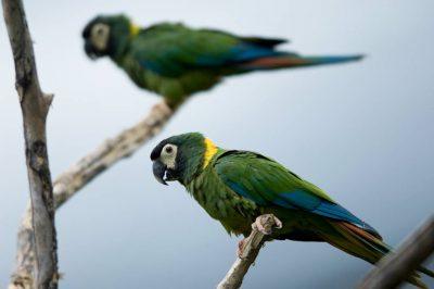Photo: A yellow-collared macaw (Primolius auricollis) at the Sedgwick County Zoo.