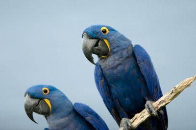 A vulnerable hyacinth macaw (Anodorhynchus hyacinthinus).