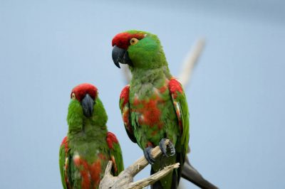 Endangered (IUCN) and federally endangered thick-billed parrots (Rhynchopsitta pachyrhyncha) at the Sedgwick County Zoo.