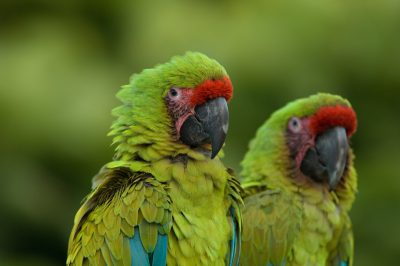 Picture of endangered Buffon's or great green macaws (Ara ambiguus), at the Sedgwick County Zoo.