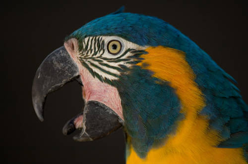 Photo: A highly-endangered blue-throated macaw (Ara gluacogularis) at the Sedgwick County Zoo in Wichita.