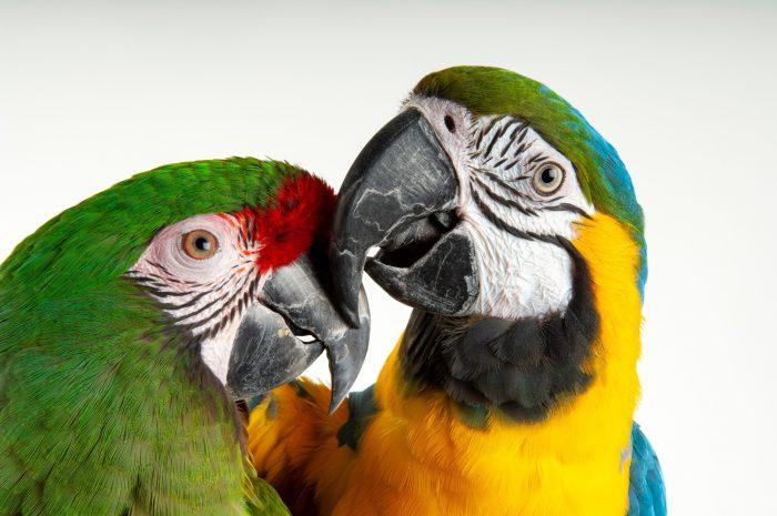 A military macaw (Ara militaris) and blue and gold macaw (Ara ararauna) at the Denver Zoo.