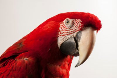 A green-winged macaw or red and green macaw (Ara chloropterus) at the World Bird Sanctuary.