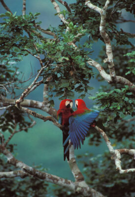 Photo: Red-and-green macaws groom each other in Madidi National Park, Bolivia.
