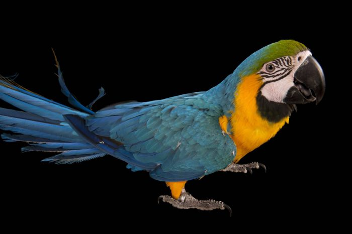 Picture of a blue and yellow macaw (Ara ararauna) at Parrots in Paradise, a bird attraction in Glass House Mountains, Queensland.