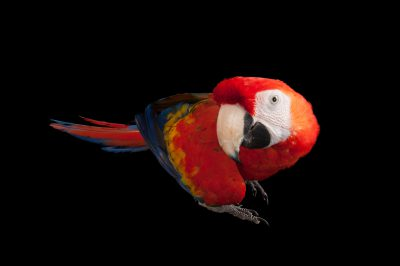 A scarlet macaw (Ara macao) at Omaha's Henry Doorly Zoo and Aquarium, Omaha, Nebraska.