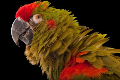 An endangered red-fronted macaw (Ara rubrogenys) at the Miller Park Zoo in Bloomington, Illinois.