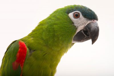 Picture of Beaker, a red-shouldered macaw (Diopsittaca nobilis nobilis) at Alabama Gulf Coast Zoo.