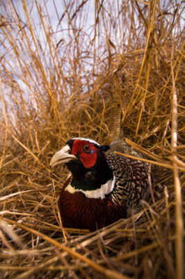 A ring necked pheasant (Phasianus colchicus) hides in the tall grass.