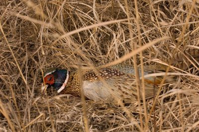 A dead ring necked pheasant (Phasianus colchicus).