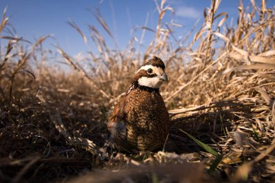 A male northern bobwhite quail (Colinus virginianus) hides in the tall grass.