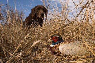 A German shorthair finds the ring necked pheasant (Phasianuscolchicus) his owner just shot.