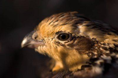 A female northern bobwhite quail (Colinus virginianus).