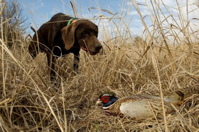 A pointer finds a ring necked pheasant (Phasianus colchicus) for his owner.