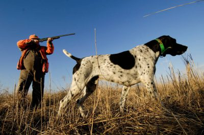 Photo: A hunter with his German Shorthair hunting pheasant and quail.
