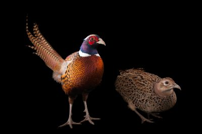 A pair of common pheasants (Phasianus colchicus)