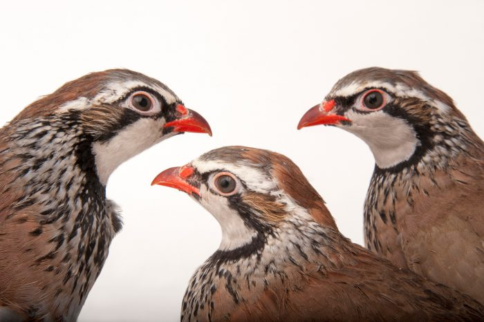 A group of red-legged or french partridges (Alectoris rufa)