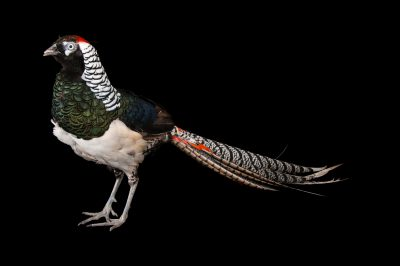 A lady amherst's pheasant (Chrysolophus amherstiae) at the Gladys Porter Zoo in Brownsville, Texas.